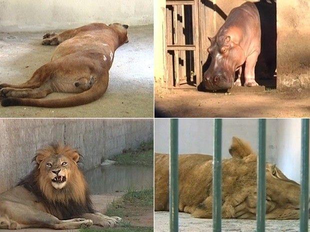 Leoa, onça parda, leão e hipopótamo são alguns dos animais que morreram (Foto: Reprodução / TV TEM)
