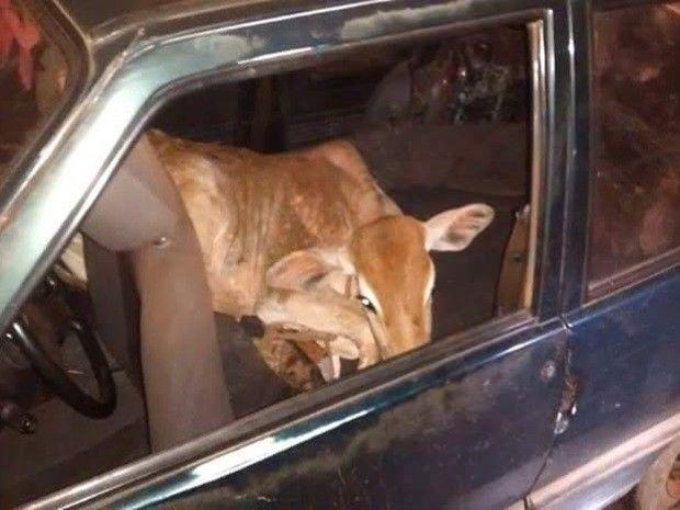 Novilha estava amarrada dentro de um carro em Ipiguá (Foto: Divulgação/Polícia Ambiental)