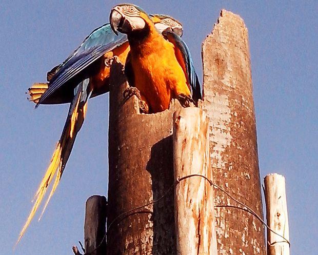 Aves são atraçãoes para moradores de Santa Fé do Sul (Foto: Aplicativo TEM VOCÊ/Percival)