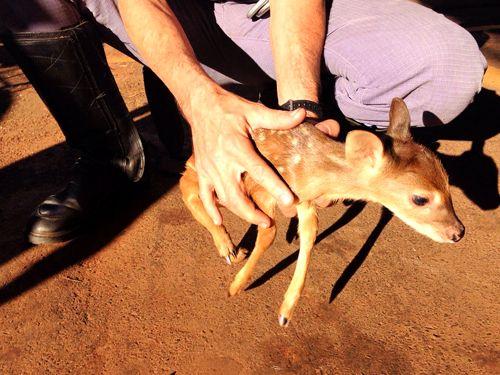 Filhote foi transferido para o Hospital Veterinário da Unesp (Universidade Estadual Paulista) em Araçatuba. Foto: Corpo de Bombeiros/Divulgação